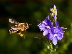 Biene-fliegend-web.jpg