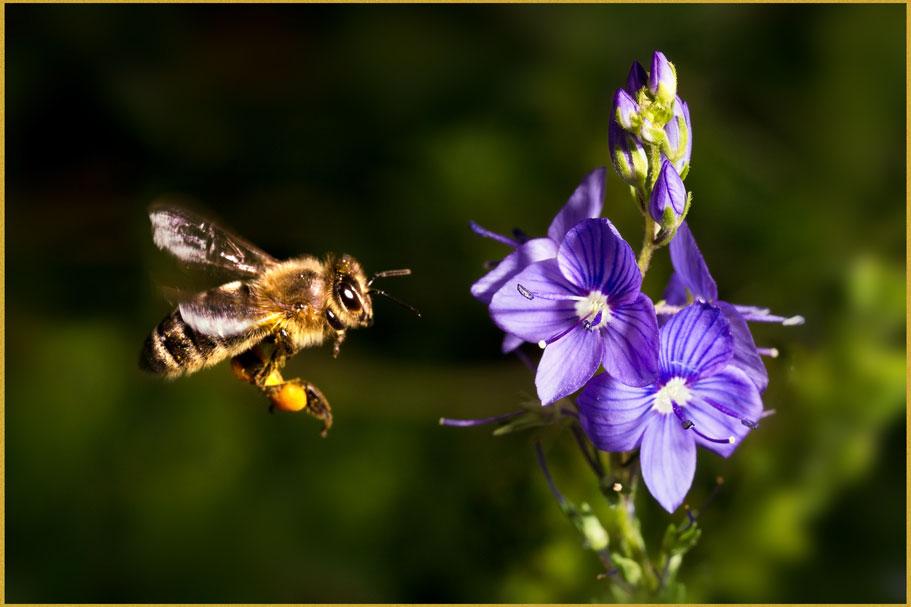 Biene-fliegend-web